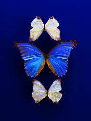 Morning light Opal flight / limited edition / special layered plexiglas